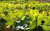 (Sammy!) Tags: sunshine lotus outdoor 太陽 latesummer lotusleaves leav lotusleaf 光線 蓮の葉 陽 晩夏 太陽光線