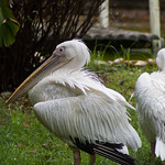 Pelicans thumbnail