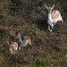 Fallow Deer Doe and Fawns