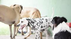 DSC02730 (agorayebm) Tags: dog bordercollie dalmatian fila crick dlmata filabrasileiro
