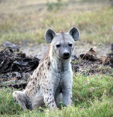 Spotted Hyena (misskittiecat) Tags: africa nature animal kenya wildlife safari spotted hyena amboseli