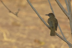 Yellow-bellied Greenbul - Chlorocichla flaviventris (amitbandekar) Tags: africa zambia southluangwa flaviventris greenbul chlorocichla