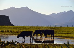 (Zak355) Tags: water puddle scotland cows farm farming drinking scottish hills arran bute rothesay isleofbute