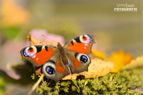 vlinder-VF-1