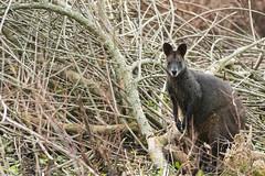 Wallaby (joshuafraser) Tags: sydney wallaby warriewood