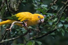 Golden conure (tmeallen) Tags: brazil green bird gold threatenedspecies fozdoiguacu parkeet parquedasaves goldenconure guarubaguarouba