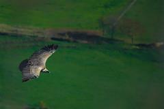 Vulture - Putrea - Buitre leonado (Joseba Alberdi Lizarazu) Tags: bird birds vulture pjaro buitre carroero putrea