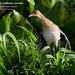 Purple Gallinule, Porphyrio martinicus