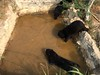Sun bears in pool (Animal People Forum) Tags: bear rescue sun project indonesia wildlife palm borneo oil rehabilitation palmoil sunbear wildliferehabilitation samboja lestari