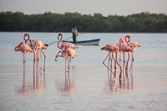 Pink Mirrors (Xavy Vp) Tags: life pink wild naturaleza rio mxico nikon flamingos yucatn rosas vp 70300mmf456 lagartos xavy 1224mmf4 d7100