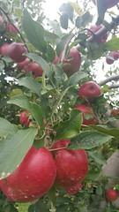 20151001_115852_wm (sroseaphotography) Tags: apple photography farm newengland rhodeisland applepicking adamsville