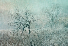 Twisted Trees (jeanineleech) Tags: morning trees winter usa painterly cold texture nature field fog frost december mood pennsylvania foggy cattails marsh twisted treebranch flypaper