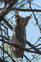 African scops-owl (Lluniau Clog) Tags: kenya africanscopsowl otussenegalensis greatriftvalley lakebaringo