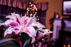 DSC_9320-2 (louis_mancuso) Tags: christmas flowers winter flower macro fleur nikon lily bokeh stargazer lilies micro fleurdelis studiolighting macrophotography microphotography 2015 stargazers d7000 winter2015 christmas2015 christmastree2015