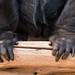 Gorilla handen (Gorilla hands) 0146
