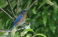 Azulejo oriental Eastern Bluebird (Sialia sialis) (Corriplaya) Tags: birds aves digiscoping easternbluebird sialiasialis corriplaya azulejooriental