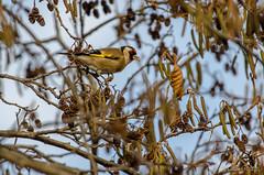 DSI_3353 (alaing40_photos) Tags: oiseaux chardonneret
