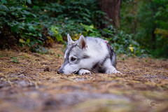 not completely off the world though (Roos van Gent Photography) Tags: siberianhusky hikingwithdogs traildog forest dogphotography sleepy huskypuppy
