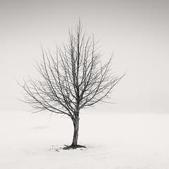Maiden's Tree (Vesa Pihanurmi) Tags: tree winter white snow fog mist minimalism fineart monochrome blackandwhite trunk branches espoo finland