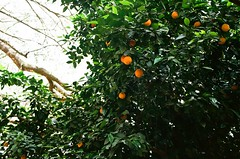 remember the orange trees (september.) Tags: 35mm film canonae1 canonfd35mmf2ssc kodakektar100 orange tree citrus tallahassee florida panhandle