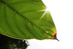 photosynthesis (Steve in HK) Tags: macromondays backlit