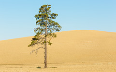 One Is The Loneliest Number (John Westrock) Tags: tree farmfield landscape bluesky onetree washington pacificnorthwest pullman canoneos5dmarkiii canon135mmf2lusm