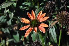 Echinacea coneflower (ladybugdiscovery) Tags: collingwood autumn golden leaves flowers park echinacea coneflower