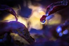 Raindrop (Limes Wright) Tags: macro bokeh closeup depthoffield rain raindrop droplet nature wet waterdrop