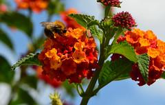 Friday's Flower Power (deta k) Tags: blumen blüten flora flowers insekten hummel bumblebee natur macro nikond5100 nikkor105mmf28micro