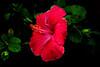 IMGP7861 Hibiscus (tsuping.liu) Tags: outdoor organicpatttern blackbackground blooming red redblack plant petal photoborder passion pattern photographt water nature natureselegantshots naturesfinest flower green contrast