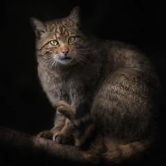 Europische Wildkatze (ellen-ow) Tags: katzenartige kleinkatzen raubtiere wildkatze zoo sugetier cat tier katze animal ellenow nikon d4 wildcat