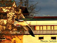 Black-headed Gull in flight2 (tinlight7) Tags: blackheadedgull gull seagull sapanca turkey flying flight taxonomy:kingdom=animalia animalia taxonomy:phylum=chordata chordata taxonomy:subphylum=vertebrata vertebrata taxonomy:class=aves aves taxonomy:order=charadriiformes charadriiformes taxonomy:family=laridae laridae taxonomy:subfamily=larinae larinae taxonomy:genus=chroicocephalus chroicocephalus taxonomy:species=ridibundus taxonomy:binomial=chroicocephalusridibundus 붉은부리갈매기 hettemåke kokmeeuw mouetterieuse gavinavulgar chroicocephalusridibundus commonblackheadedgull gaviotaencapuchada ユリカモメ gabbianocomune lachmöwe hettumáfur bhgu guinchocomum guincho antxetamokogorria שחףאגמים naurulokki обыкновеннаяречнаячайка озёрнаячайка taxonomy:common=붉은부리갈매기 taxonomy:common=hettemåke taxonomy:common=kokmeeuw taxonomy:common=mouetterieuse taxonomy:common=gavinavulgar taxonomy:common=blackheadedgull taxonomy:common=commonblackheadedgull taxonomy:common=gaviotaencapuchada taxonomy:common=ユリカモメ taxonomy:common=gabbianocomune taxonomy:common=lachmöwe taxonomy:common=hettumáfur taxonomy:common=bhgu taxonomy:common=guinchocomum taxonomy:common=guincho taxonomy:common=antxetamokogorria taxonomy:common=שחףאגמים taxonomy:common=naurulokki taxonomy:common=обыкновеннаяречнаячайка taxonomy:common=озёрнаячайка
