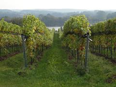Weinberg (nirak68) Tags: grebin schleswigholsteinkreispln deutschland ger 288366 weinberge ausblick 2016ckarinslinsede vineyard weinstock reben schierensee holsteinischeschweiz
