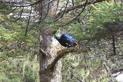 Himalaya-Glanzfasan-Nationalvogel Nepals (Alfesto) Tags: nepal wanderung trekking namche khumbuarea sagarmathanationalpark phorche phortse khumjung knigsglanzfasan himalayaglanzfasan vogel bird rotschwanzmonal hhnervogel animal