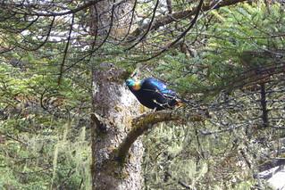 Himalaya-Glanzfasan-Nationalvogel Nepals