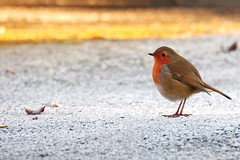 can't keep monday morning abreast (niallio77) Tags: bird cold cute frost frosty garden invierno ireland natura nature redbreast robin wildlife winter