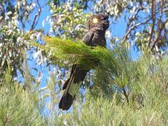 Calyptorhynchus funereus 4 (barryaceae) Tags: bird birds aves australianbirds ausbirds ausbird black head flora park nsw australia yellowtailed cockatoo calyptorhynchus funereus