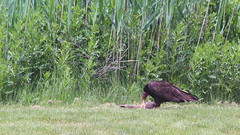 Turkey Vulture eating Carrion (Dead Raccoon) (FitchDnld) Tags: turkey vulture turkeyvulture turkeybuzzard buzzard scavenger bird prey birdofprey ave animal carrion