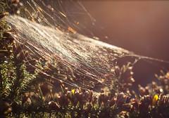 Cobweb (arripay) Tags: upton heath poole dorset dwt wildlife trust heathland autumn sunshine sunset cobweb spider web iridescence evening sun