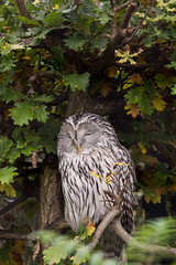 Ural Owl (mlomax1) Tags: canon eos600d wildlife nature bird owl uralowl barred black white hunter tree leaves outdoor sleeping chester chesterzoo zoo avian