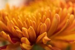 Dreamy orange ... (Sam-H-A) Tags: macro flower closeup sony 90mm sonya7m2 sonya7ii bokeh a7m2 dof nature fall november thanksgiving