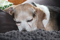 134/365/3056 (October 23, 2016) - Looks Like Flappy had a Busy Weekend - October 23, 2016 (cseeman) Tags: flappy flapjack beagle dog pets tired couch sofa blanket 2016project365coreys yearnineproject365coreys project365 p365cs102016 356project2016