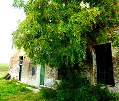 P1000016k (gzammarchi) Tags: italia paesaggio natura pianura campagna ravenna borgomontone casa cascina albero giuggiolo