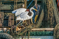 Great Egret on Shrimp Boat (Gordon Magee) Tags: bird shemcreek greategretardaalba shrimpboats
