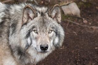 Gray Wolf aka Timber Wolf