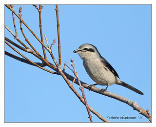 1E1A1945-DL   -   Pie-grièche grise / Northern Shrike.