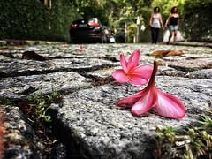 Fallen (lenpereira) Tags: iphone6s flores flowers spring primavera rua street stone paralelepipedo pink nature natureza