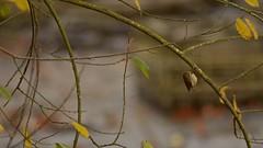 Tiny (J @BRX) Tags: goldenacrepark bramhope leeds yorkshire england uk november2016 autumn colours orange yorkshirewildlifetrust bird goldcrest tiny shy