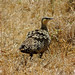 Yellow-throated Sand-grouse