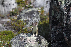 Stoat or short-tailed weasel (Blue Tale) Tags: stoat shorttailedweasel weasel ermine north arctic wildlife animal mammal arviat canada canoneos7d